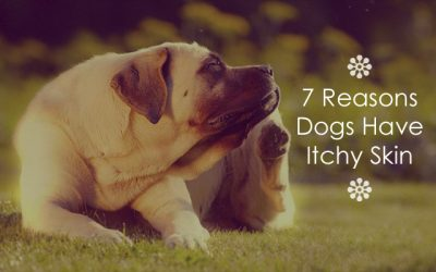 7 Reasons Dogs Have Itchy Skin