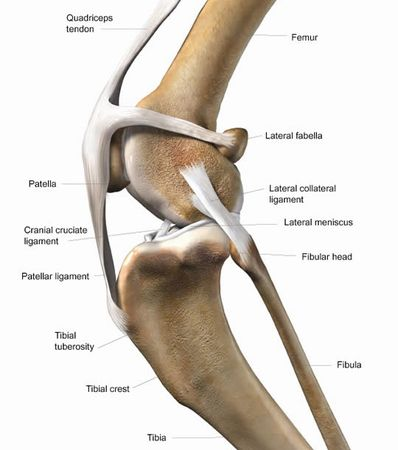 dog-knee